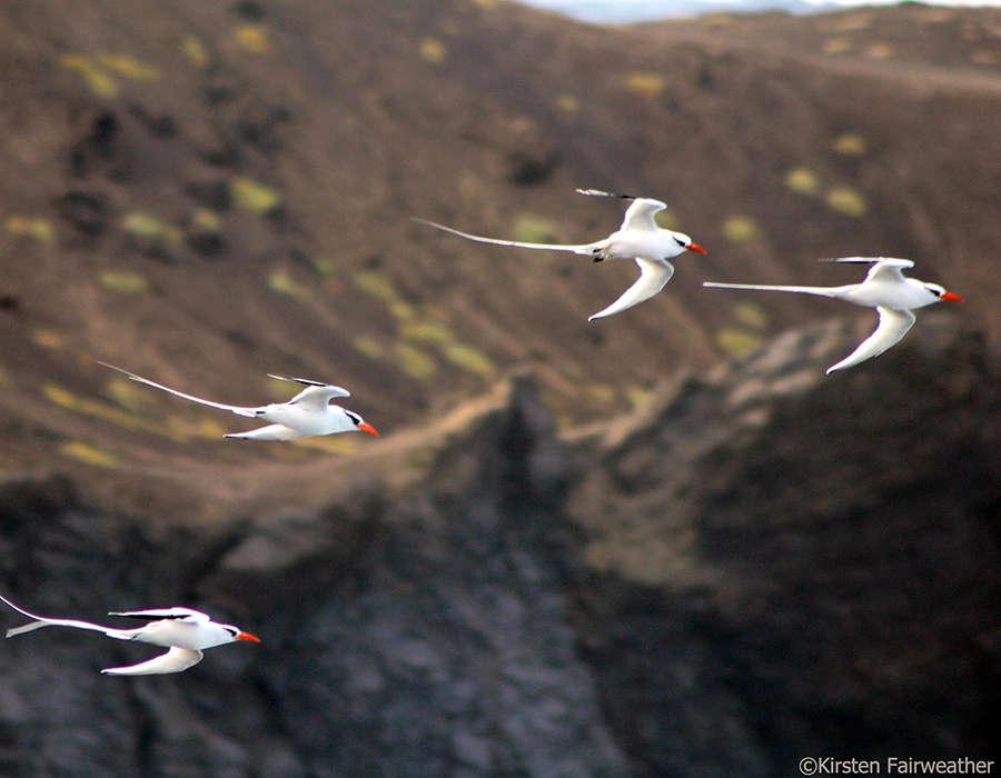 viajes a cabo verde avistamiento de aves blancas
