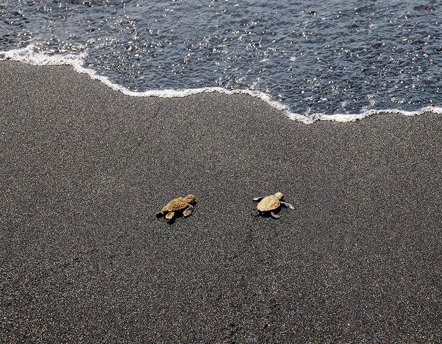 isla de fogo avistamiento tortugas caretta caretta