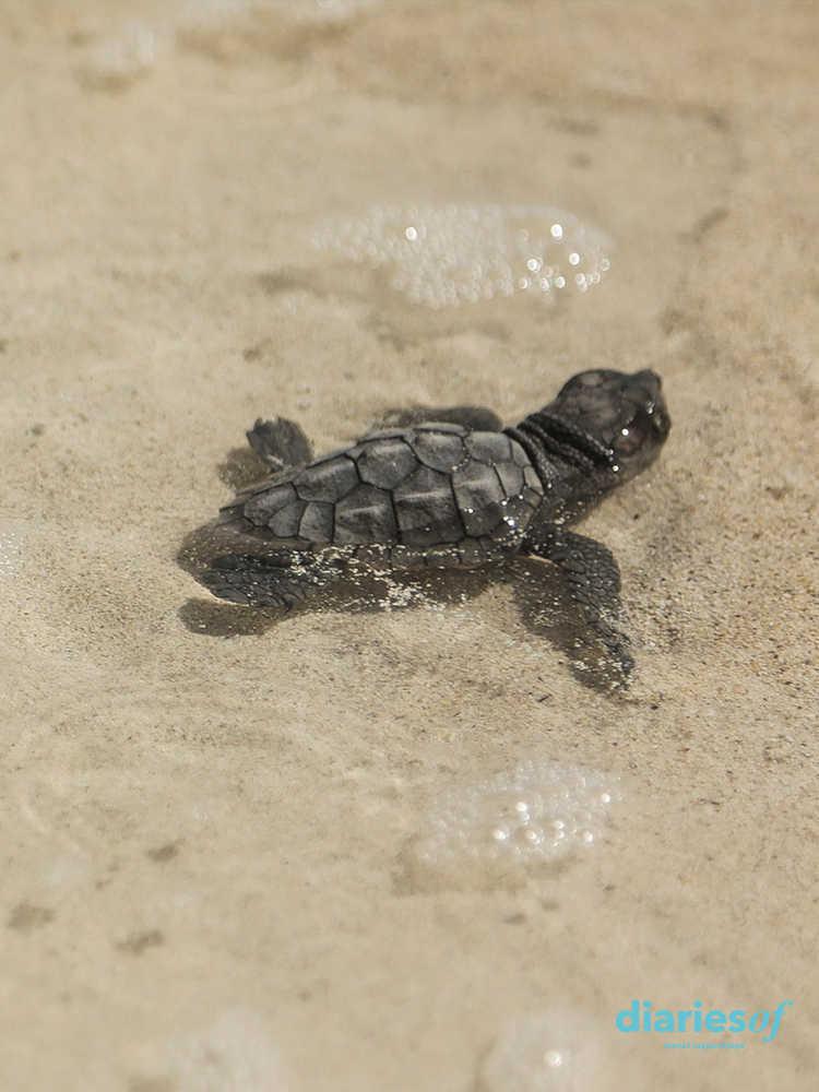 playas de cabo verde tortugas careta careta