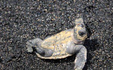 Biodiversidad en Cabo Verde tortuga Boba