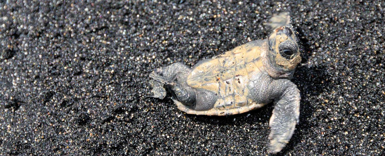 Biodiversidad en Cabo Verde tortugas Careta Careta