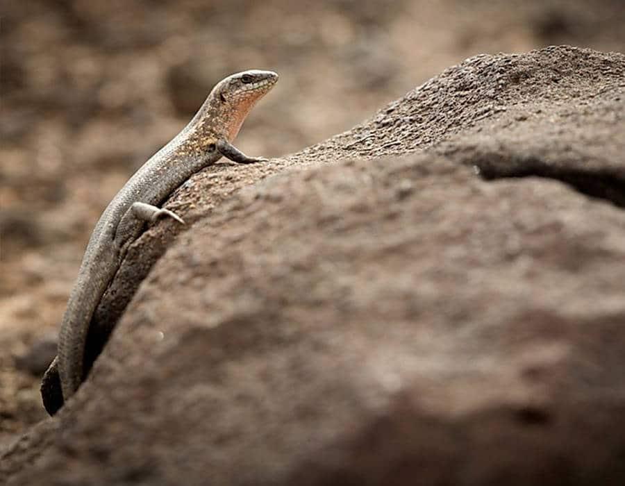 lagartos fauna autóctona